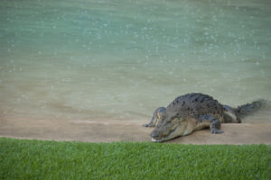 Crocodile in swimming pool