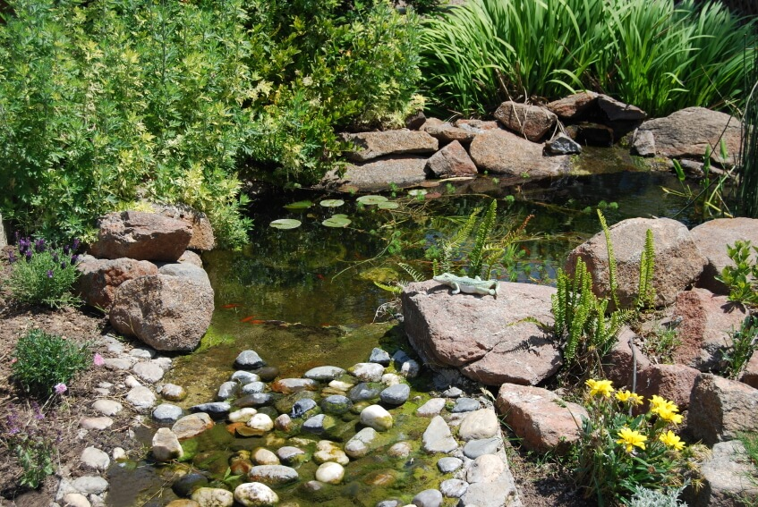 A garden pond surrounded by large reddish boulders that tapers off into a shallow stream blocked by stones to keep the tiny ornamental fish in. A small crocodile toy is perched on one of the boulders.
