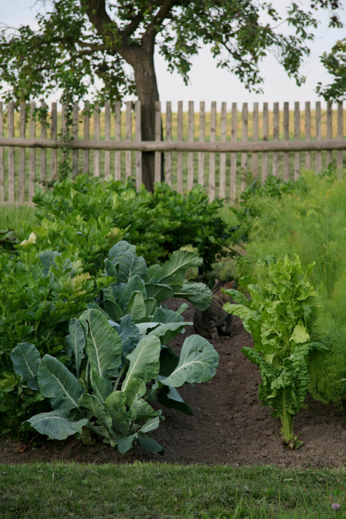 A vegetable garden with lettuce and a rustic wooden fence surrounding the garden plot.