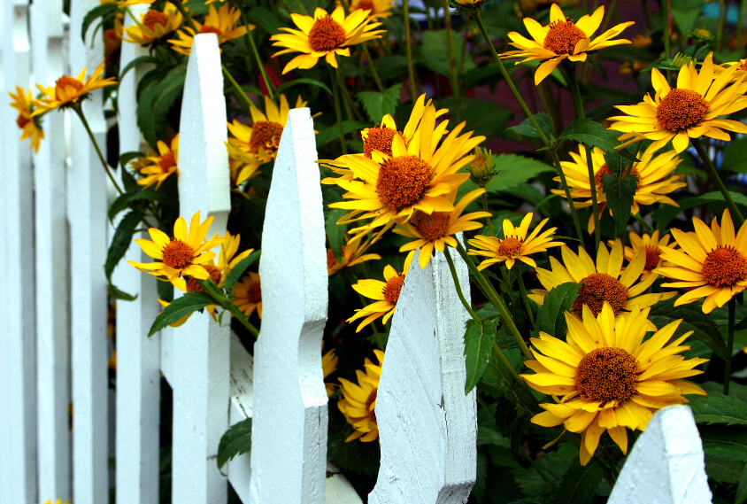 A picket fence with enormous yellow daisies peeping over the top and through the slats.