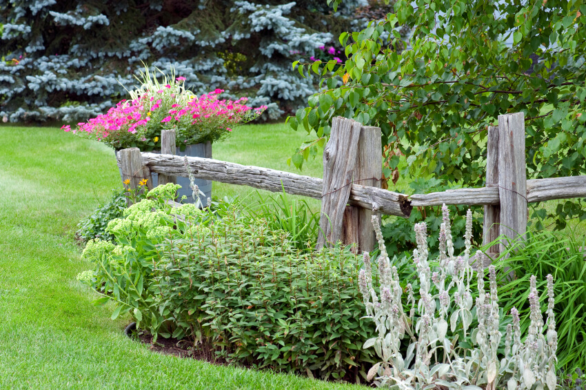 A dilapidated looking wooden fence with rustic barrel planters and green shrubs.