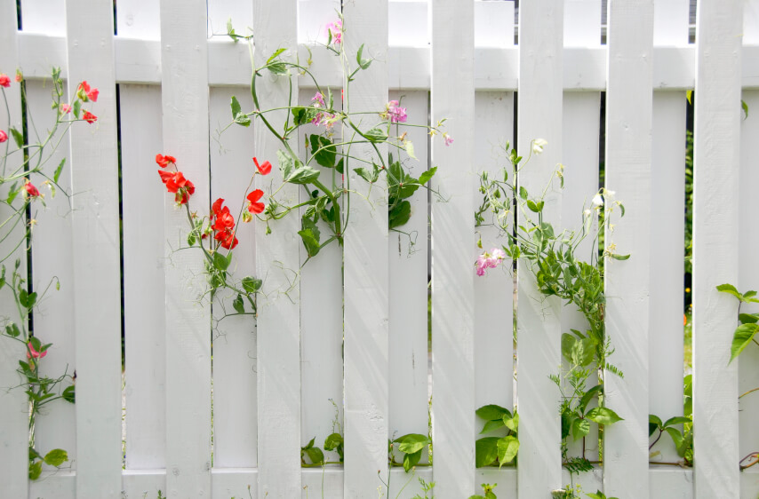 A white wooden privacy fence with leggy flowers growing through the narrow spaces between the slats.