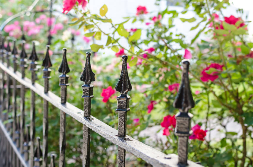 A close up of the top of a wrought iron fence with rose bushes in the background.