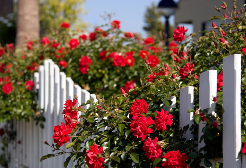 A wavy white fence with red rose bushes growing overtop.