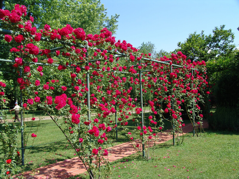 Metal piping is used to construct a trellis for climbing roses. Once fully developed, it will be a shaded, cool walkway.