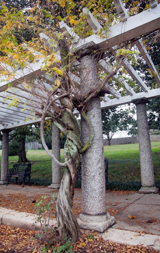 A twisted tree has been trained to grow around this trellis.