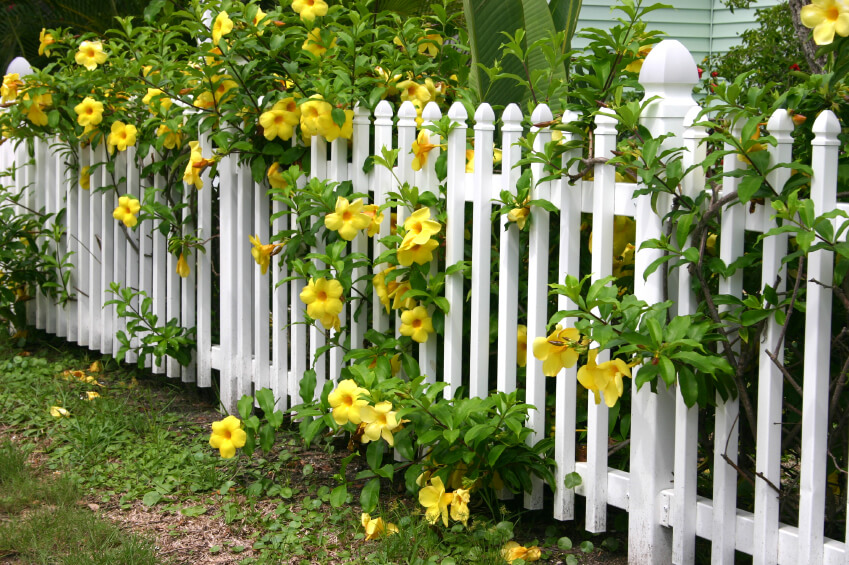 A pretty white picket fence with bright yellow blooms with lush green foliage peeping through the slats.