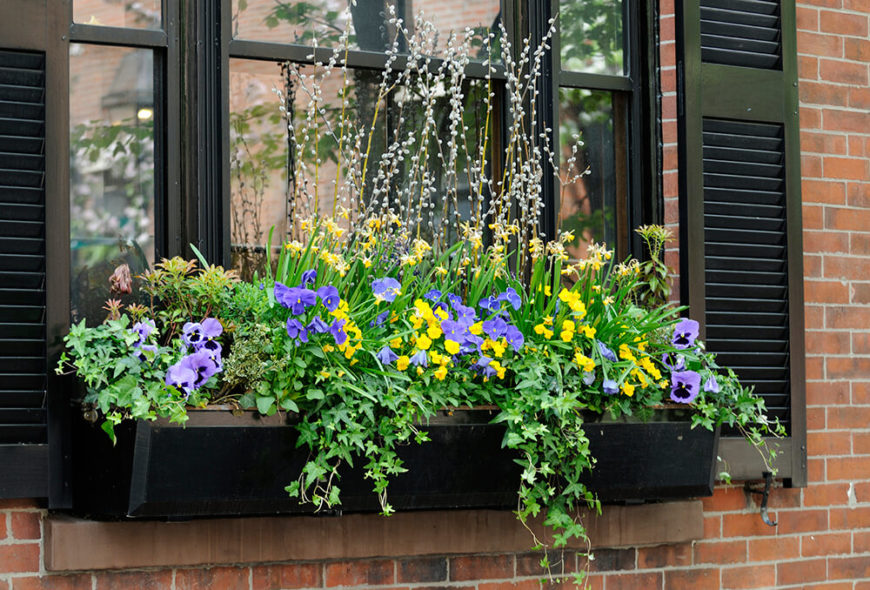 An expansive black window box filled to the brim with draping ivy, small, delicate pansies, and taller catkins.