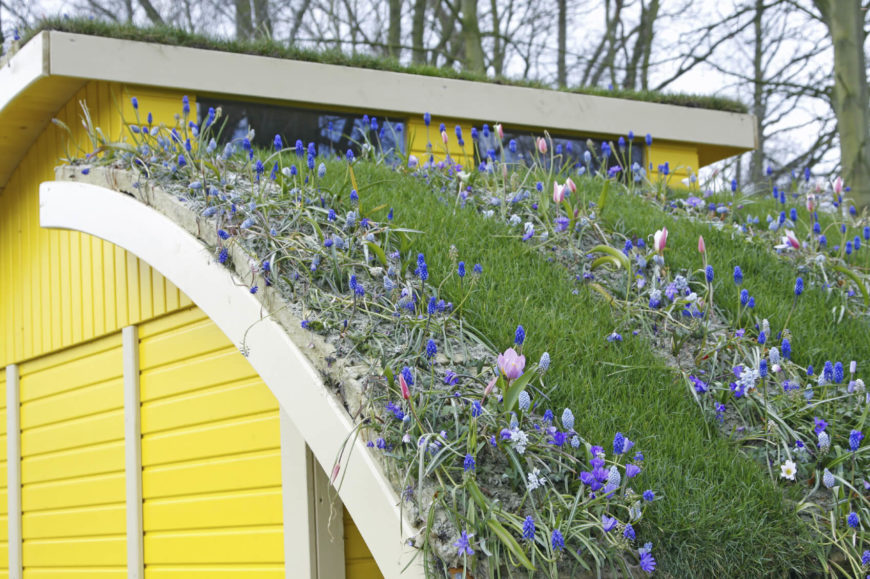 Atop a modern construction home in bright yellow, the gently curved roof features alternating rows of thick green lawn and fascinating blue flowers, doubling as living roof and garden.