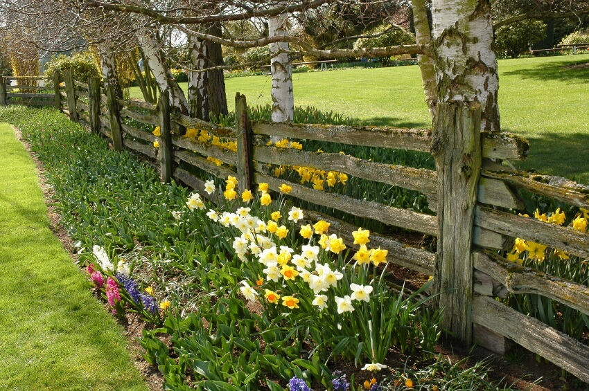 A tall, rustic split rail fence with a light coating of soft green moss growing over the ragged limbs. To either side of the fence are lengthy planting beds filled with daffodils and other spring flowers.