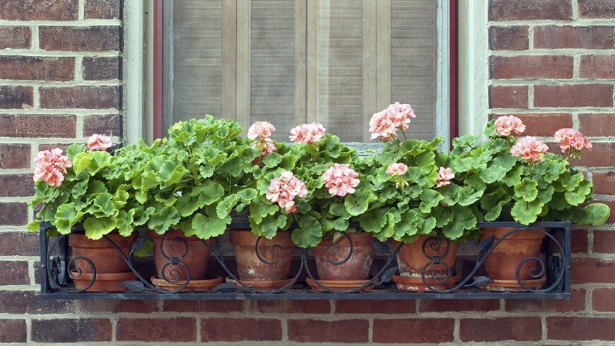 This is a simpler design. The window box itself is wrought iron with lovely scrollwork, but the geraniums are planted separately in terra cotta pots before being placed in the box. This makes it easy to swap out flowers when needed.