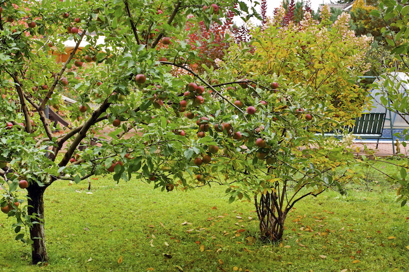 Another lovely apple tree, planted at the rear of the property, obscuring the main living area from prying eyes.