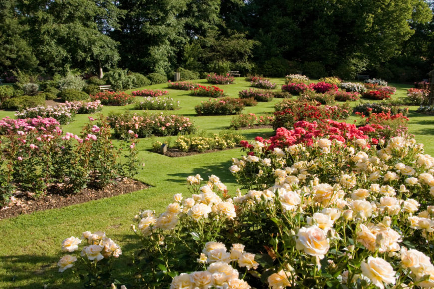 Plots of different tea roses are interspersed to add pops of color to this large lawn area. Think of all the beautiful bouquets you could make from this garden!