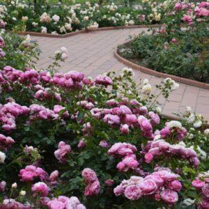 Pink rose border.