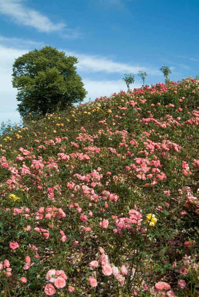 Yellow and pink Old Garden roses provide a colorful solution to this hillside landscaping. Consider planting large swaths of roses for a more untamed look.