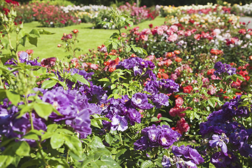 Be bold! Choose wild nontraditional colors to give your rose garden the variety it craves. This garden combines purple, red, pink, white, and yellow to create a veritable rainbow of roses.