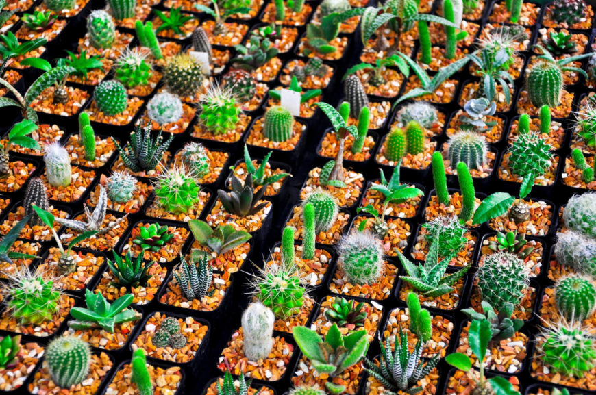 One small cactus is cute. Many small cacti? Adorable. If you want to multiply the cute factor of your garden, many many small and adorable little cacti.