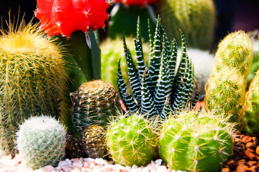 Here we see a number of vibrant, colorful and visually interesting little cacti. It shows the range of patterns, colors and appeal that a cactus can have, and the different elements that they can bring to any home garden.
