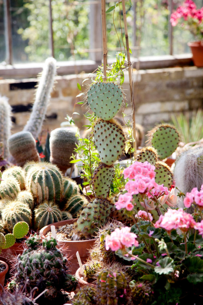 Even potted, cacti make great additions to your space. Collecting various styles of cactus is a way to make a dramatic and intriguing garden.