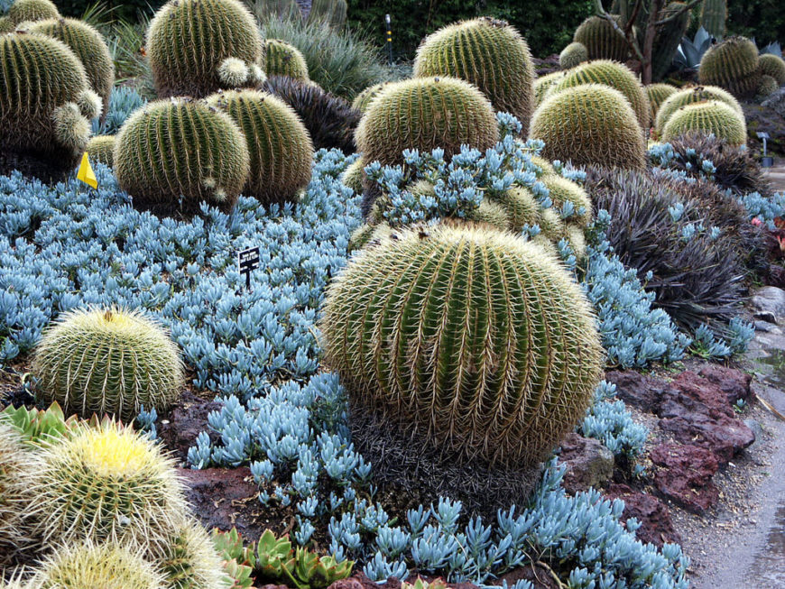 One large advantage of a cactus garden, is that you don't have to warn someone more than once to not walk through your flowers. A cactus garden does a perfect job defending itself from anything that would intrude into its space.