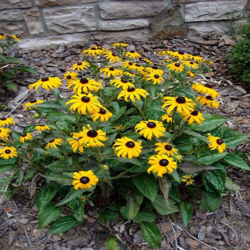 The black-eyed susan is a great perennial that adds amazing dramatic contrast among your flowers. The bright yellows and deep blacks of these flowers stand out in a crowd.