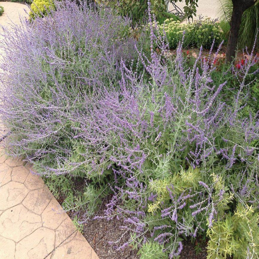 Russian sage has a wild and untamed look that is great for large areas or the sides of paths and walkways.