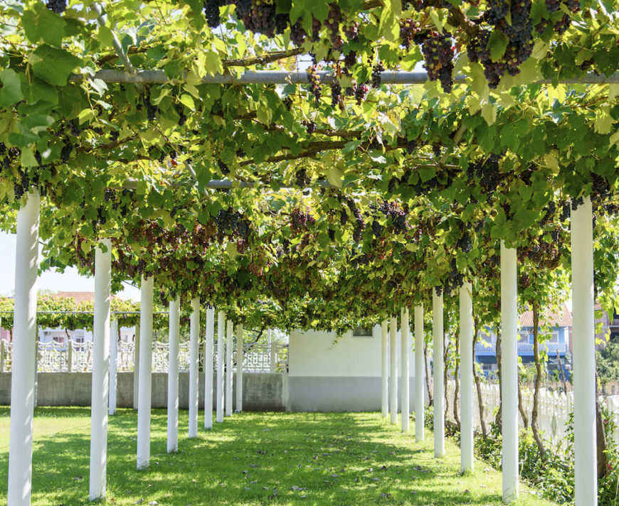 Some vines even produce fruit. This clever structure is a long hallway draped in grape vines. With this setup you can walk through the tunnel and pluck grapes from above as you walk.