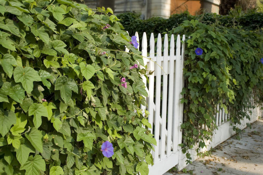 Vines also hang well over fences. Your home fence will look great with pretty flowering vines that really increase your home's curb appeal.