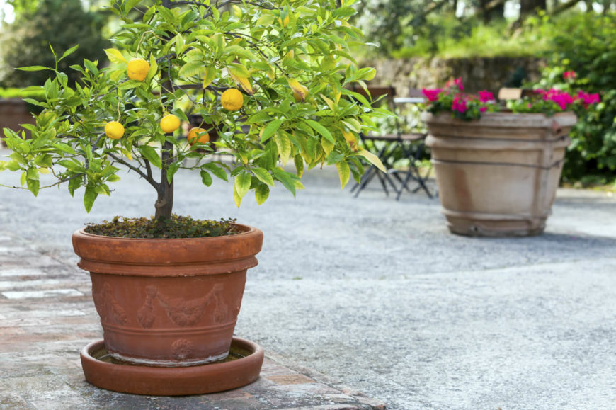 Fruit trees can be purchased quite young. These young trees will likely need to be replanted as they grow. But, until they mature, you can keep infant trees in planters.