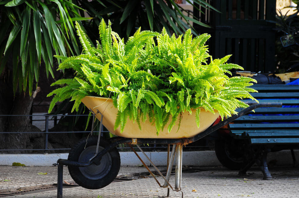 Yellow wheelbarrow attached to the ground and elevated holding a large fern.
