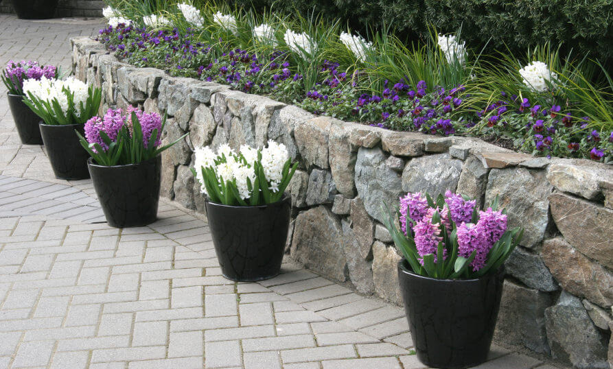 atio border lined up with Hyacinths in black pots forming a lovely line of potted plants.