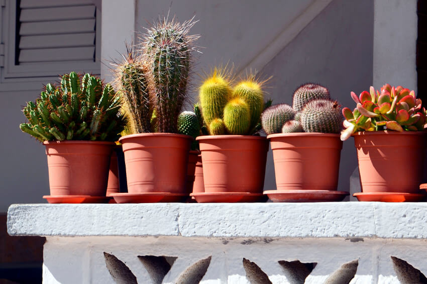 Potted cacti in clay pots on a white cinder block railing.