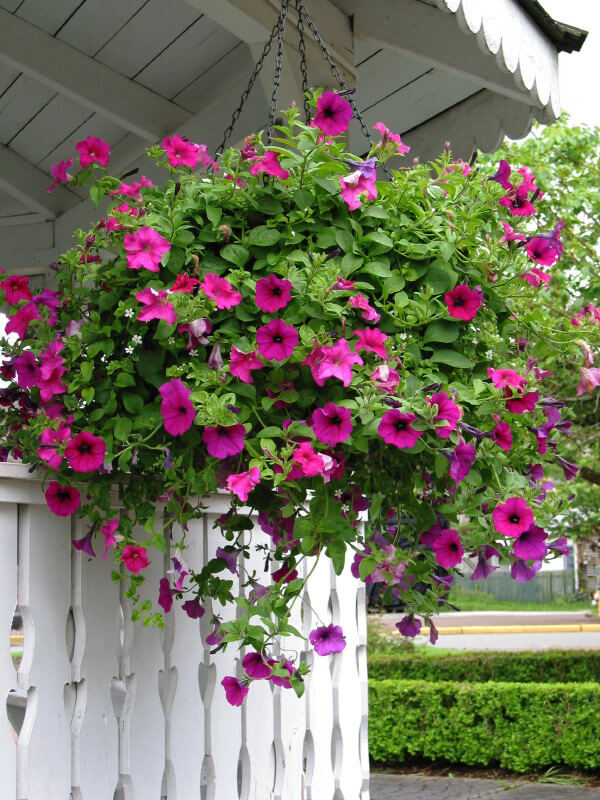 Here's a great example of pink hanging flowers against a white backdrop.