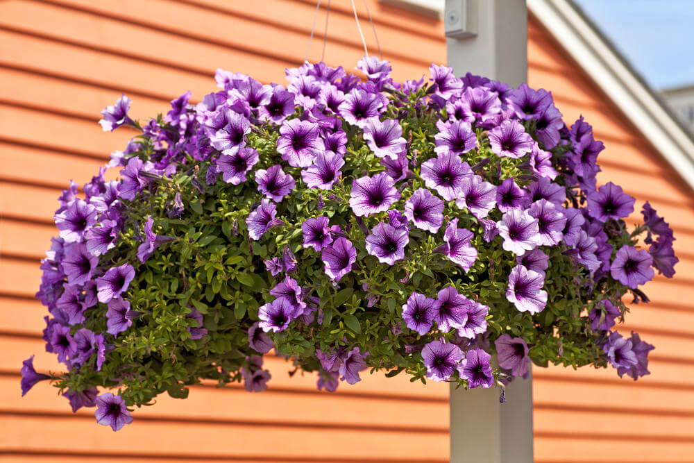 Example of a hanging flower basket that's very wide instead of hanging down well below the basket.