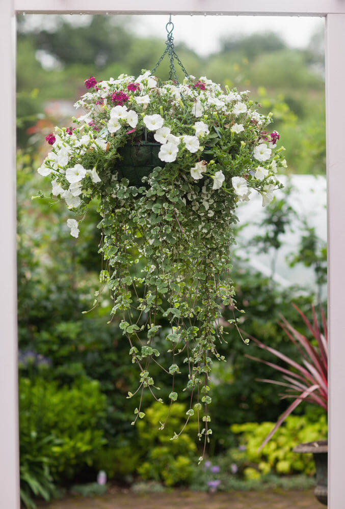 Attractive flower basket suspended by a small chain. The unique feature here is the draping leaves hanging from below the suspended pot.