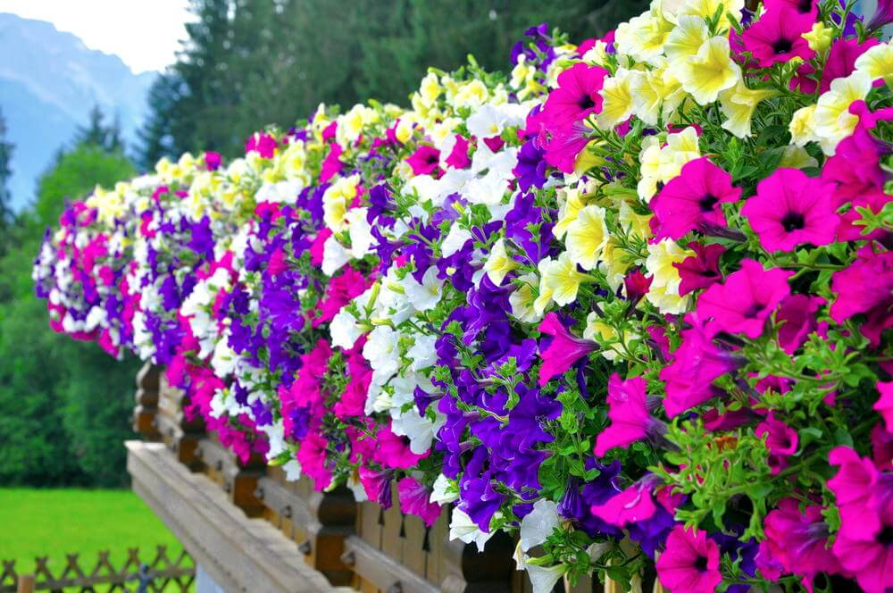 Now that is one beautiful fence because it is lined with a dance series of multi-coloured flower pots containing purple, white, yellow, and pink flowers.