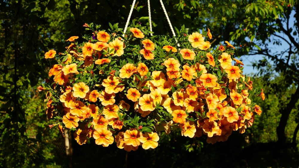 Example of a large yellow flowered hanging basket.