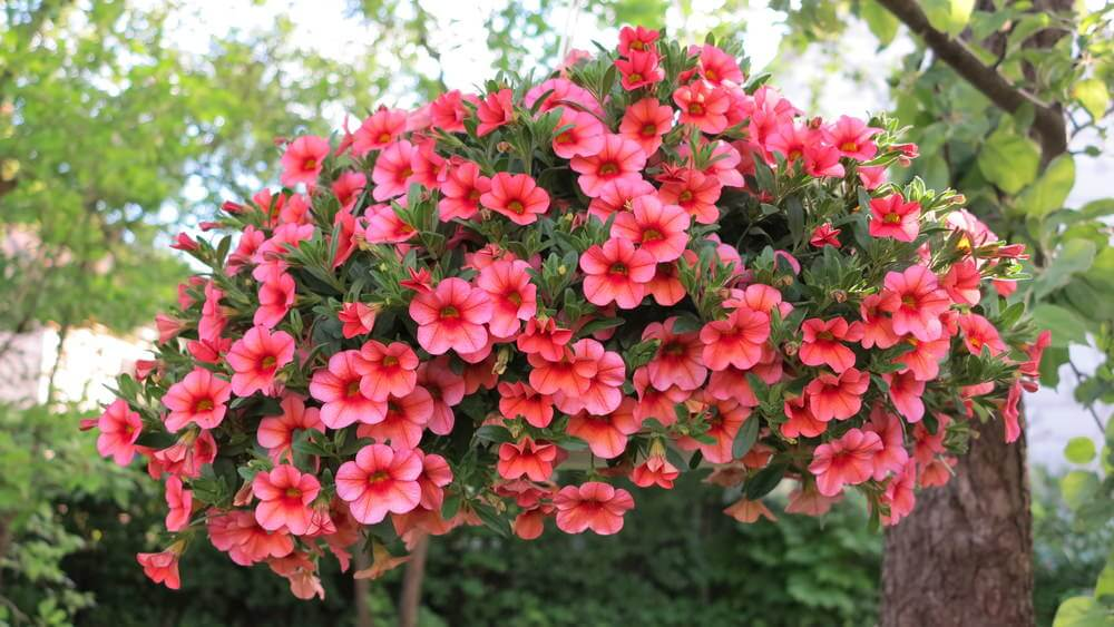 Example of a large all red flower hanging basket.