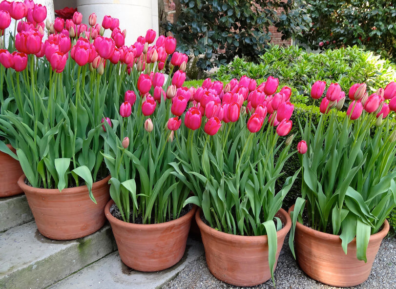 Simple and plain yet very fascinating. Nothing beats the simplicity of the natural color of nature. Plain designed clay pots, pink tulips and unpainted steps can complete a cool and paradise look outdoors.