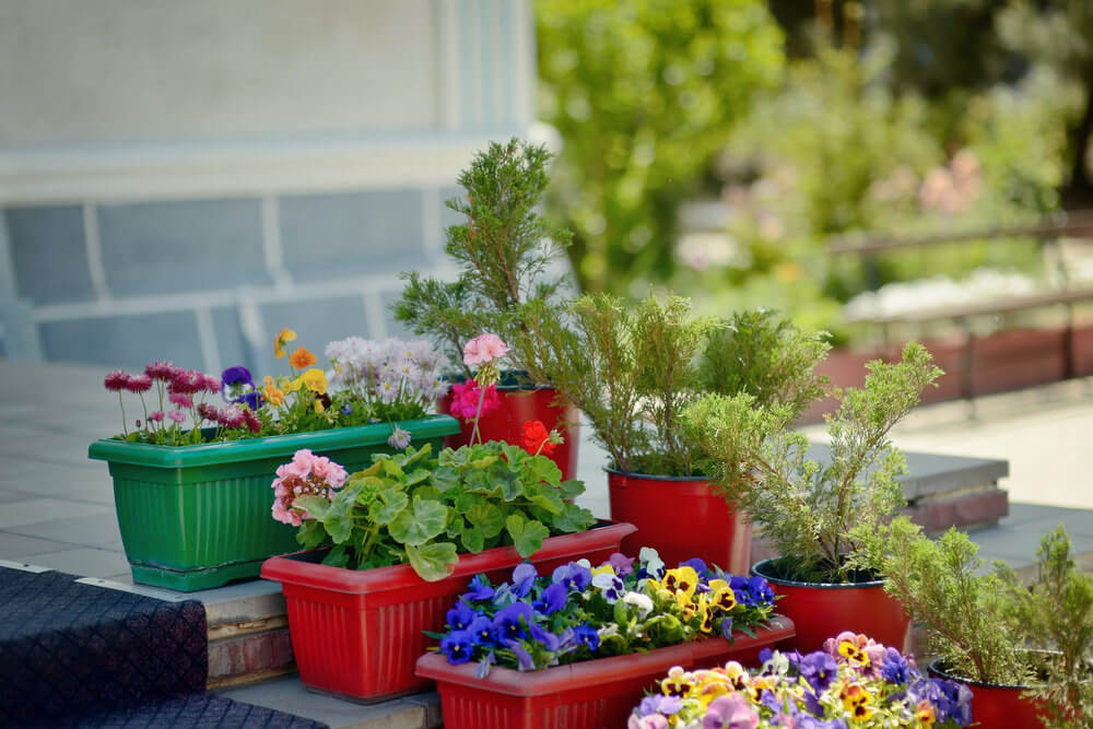 Green and red colored pots mixed with red small pails grow colorful flowers like geraniums, daisies and pansies.