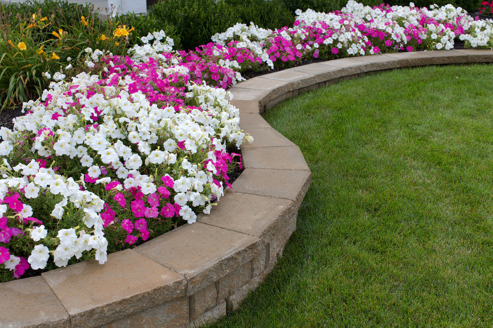 Brick stone landscape edging is given more emphasis with white and purple petunia blossoms and green grass edging the bottom.