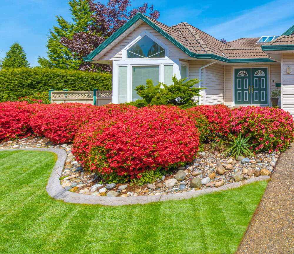 A rocky landscape edging idea where bushes of blooming petunias and newly lawn grasses are found. In addition, a green pine shrub is found in the center of the garden.