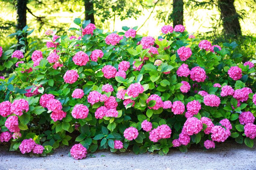 Bright pink (or fuschia) hydrangeas along the side of a walkway.