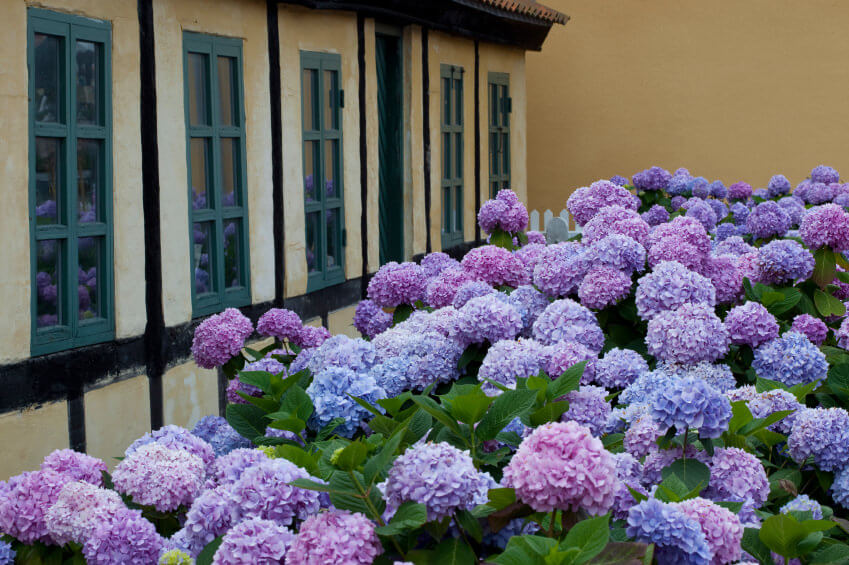 Hydrangea garden in full bloom along the front of a house.