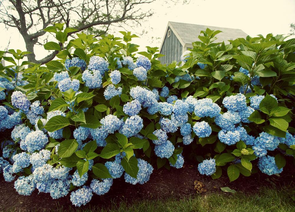 Tall light blue hydrangeas.