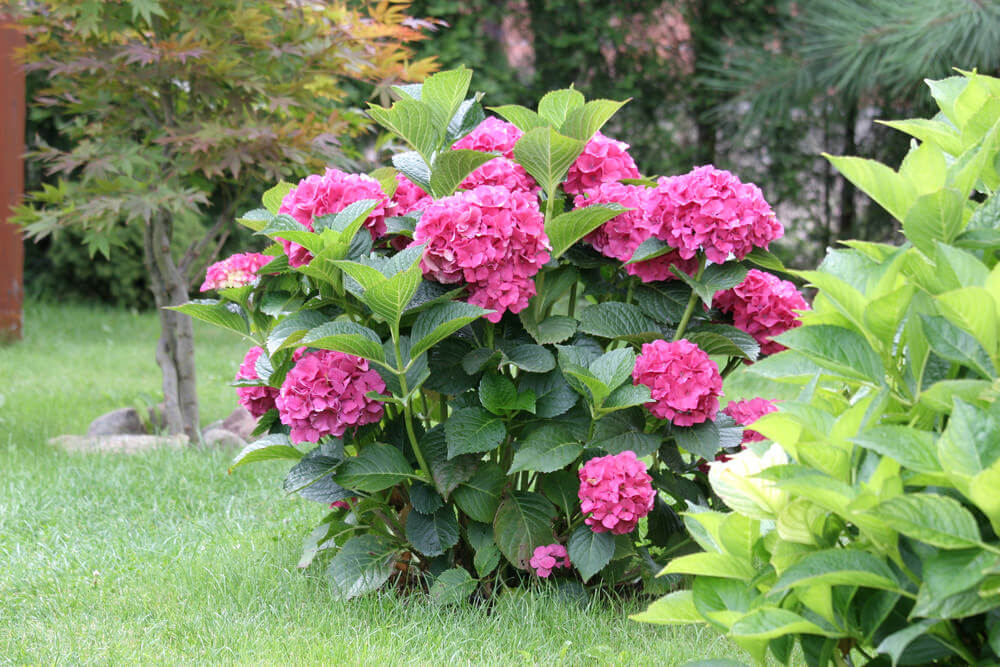 Small bright pink hydrangeas grown in the middle of a grass yard.