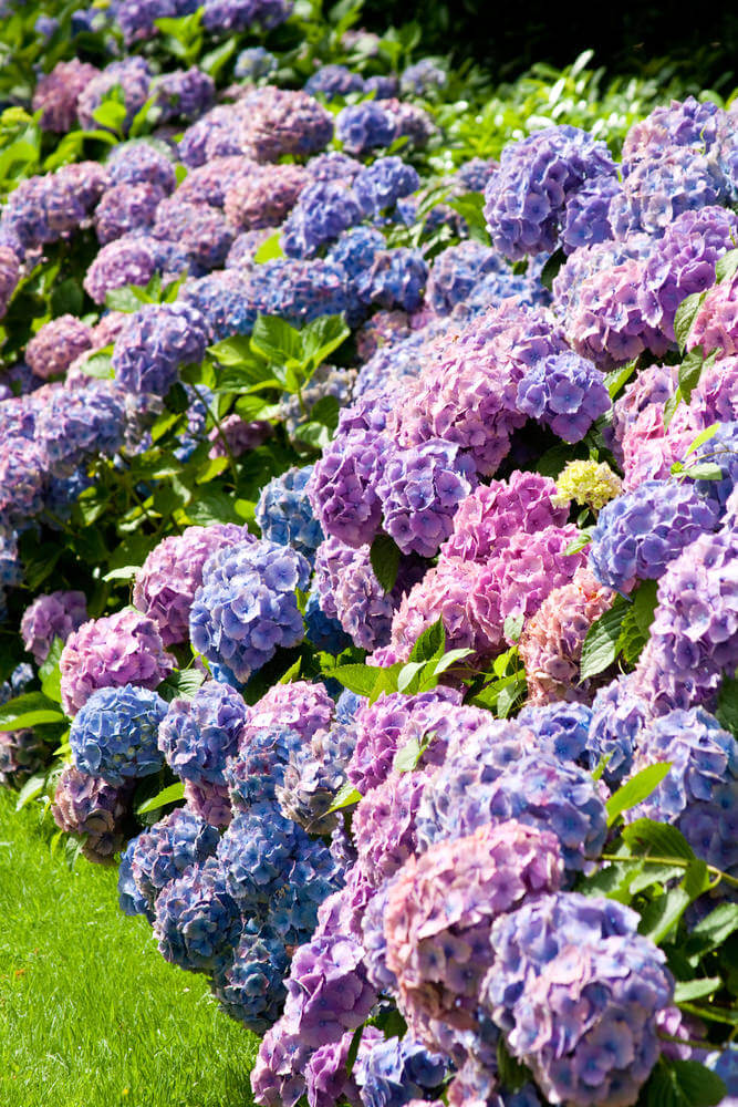 Picture of incredible hydrangea flowers in full bloom.