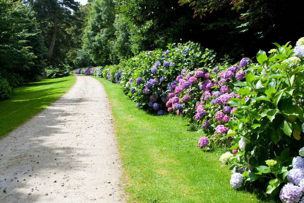 Long line of tall hydrangea bushes in full bloom along the side of a long driveway.