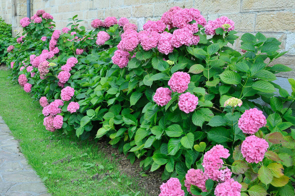 Another example of pink hydrangeas a long a brick wall.