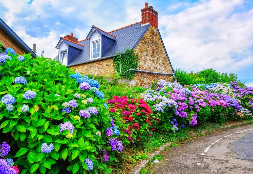 Road lined with huge hydrangea bushes with flowers of many colours including purple, violet, blue, and hot pink.